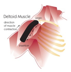Deltoid Muscle image